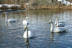 帯広川の白鳥